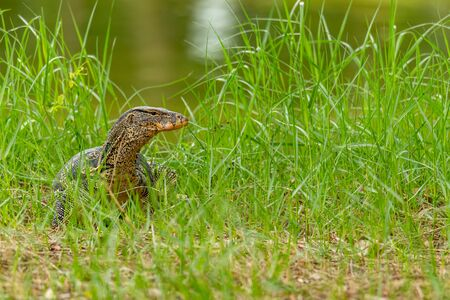 Asian water monitor lizard walking up from river