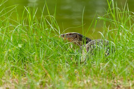 Asian water monitor lizard walking toward river Reklamní fotografie