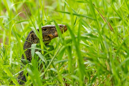 Asian water monitor lizard lifting up head to look around