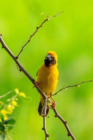 Bright and yellowish male Asian Golden Weaver perching on Manila tamarind branch, looking into a distance