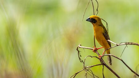 Bright and yellowish male Asian Golden Weaver perching on dried perch, looking into a distance