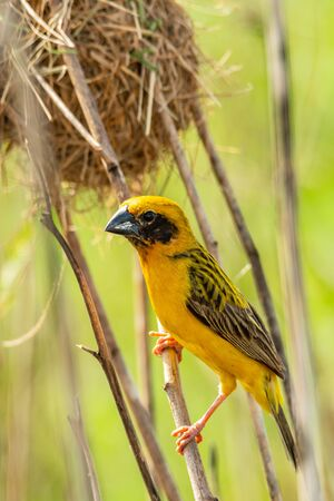 Bright and yellowish male Asian Golden Weaver perching on dried perch near its nest