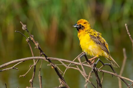 Bright and yellowish male Asian Golden Weaver perching on dried perch, puffing up plumage Reklamní fotografie