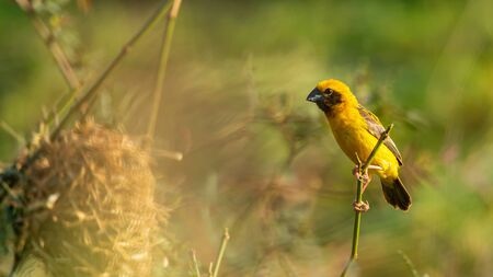 Bright and yellowish male Asian Golden Weaver perching on perch near its nest Reklamní fotografie