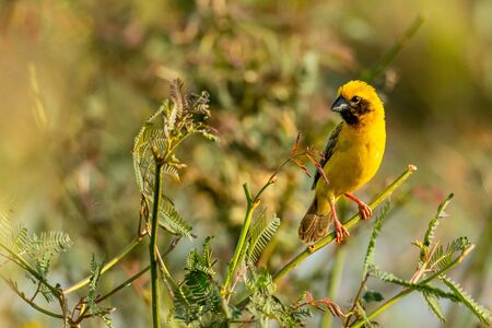 Bright and yellowish male Asian Golden Weaver perching on mimosa plant, looking into a distance