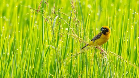 Bright and yellowish male Asian Golden Weaver perching on rice ear with young rice grain in the beak