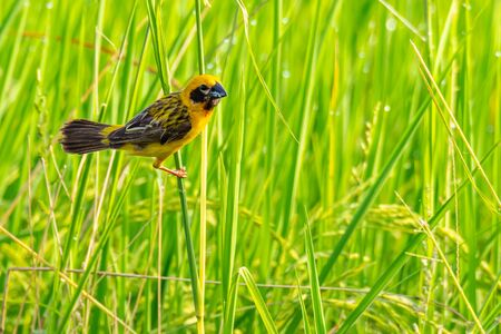 Bright and yellowish male Asian Golden Weaver perching on grass stem, looking into a distance