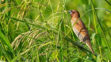 Scaly-Breasted Munia perching on grass stalk and feeding on its seeds