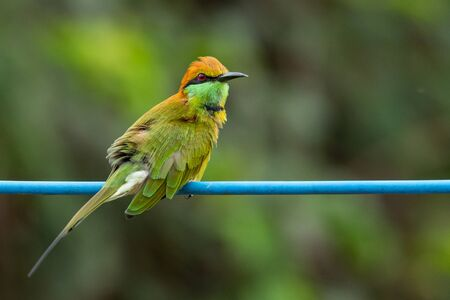 Green Bee-Eater perching on blue electrical wire, looking into a distance Banco de Imagens
