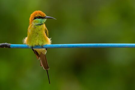 Green Bee-Eater perching on blue electrical wire, looking into a distance Reklamní fotografie