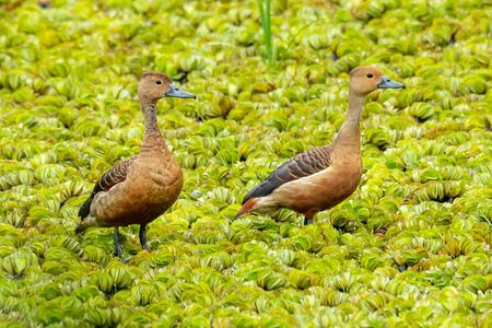 Two Lesser Whistling Ducks wading on a field of water lettuce, looking into a distance Reklamní fotografie