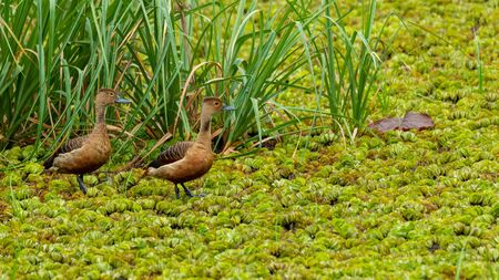 Two Lesser Whistling Ducks wading on a field of water lettuce, looking into a distance Banco de Imagens