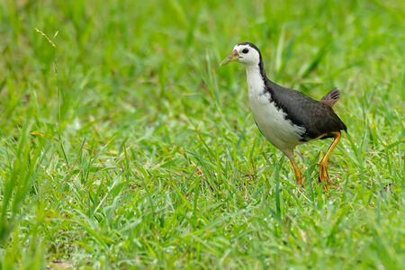 White-breasted Waterhen walking on green field looking into a distance
