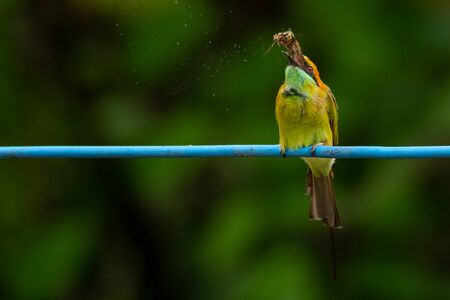 Green Bee-Eater perching on blue electrical wire, tossing a moth in the air Banco de Imagens