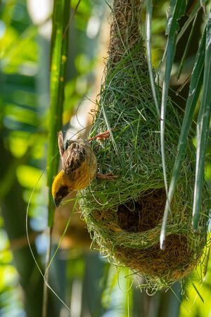 Male Asian Golden Weaver weaving and decorating his nest Banco de Imagens