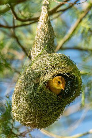 Female Asian Golden Weaver in her nest Banco de Imagens