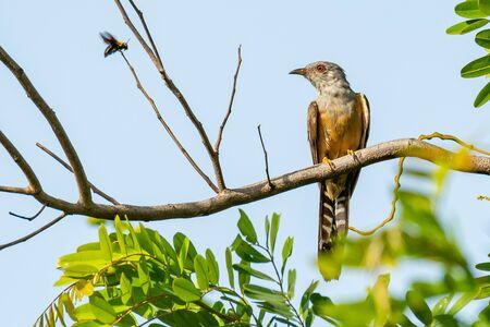 Plaintive Cuckoo perching on a perch, looking into a distance Banco de Imagens