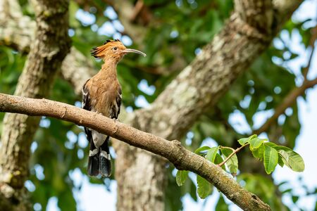 Hoopoe perching on longan branch looking into a distance