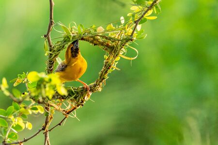 Bright and yellowish male Asian Golden Weaver weaving its nest during spawning season