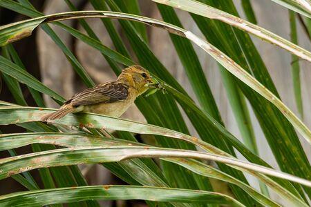 Female Baya Weaver with a grasshopper in its beak perching on palm leaf