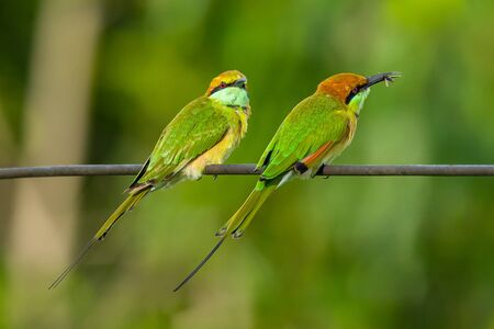 Two Green Bee-Eaters perching on electrical wire, looking into a distance, one with an insect in the beak