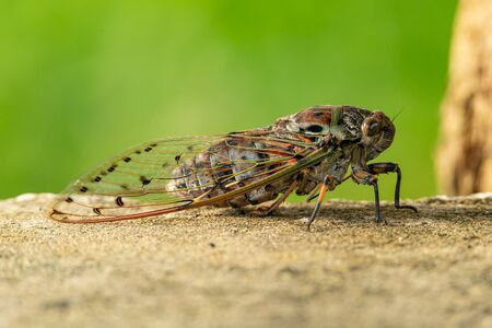 Large Cicada perching on cement floor