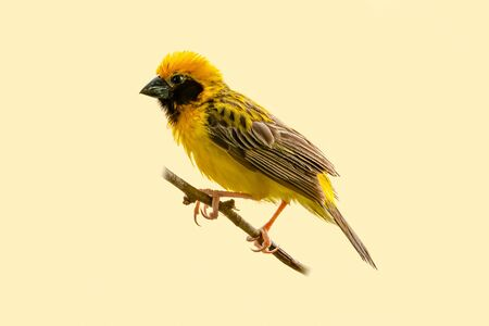 Bright and yellowish male Asian Golden Weaver perching on perch isolated on pale yellowish background
