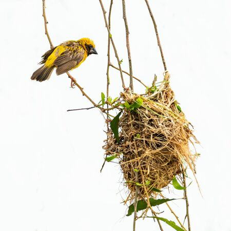 Bright and yellowish male Asian Golden Weaver perching on perch near its nest Banco de Imagens