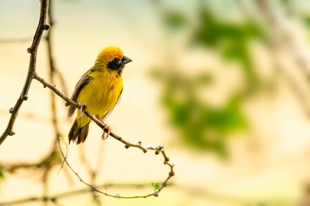 Bright and yellowish male Asian Golden Weaver perching on perch, looking into a distance