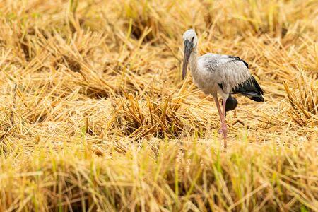 Asian openbill stork in post harvest paddy field