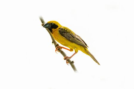 Bright and yellowish male Asian Golden Weaver perching on perch isolated on white background