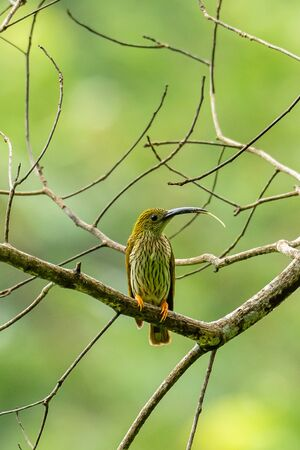 Streaked Spiderhunter perching on perch, sticking out its tongue isolated on blur green background Reklamní fotografie