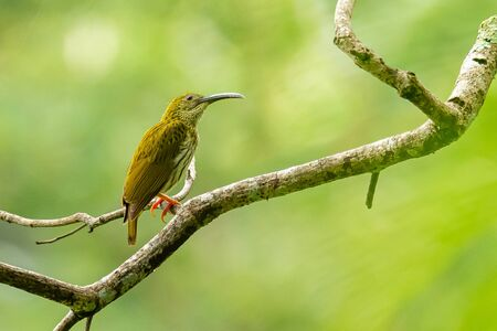 Streaked Spiderhunter perching on perch, looking into a distance isolated on blur green background