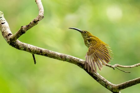 Streaked Spiderhunter perching on perch, stretching its wing isolated on blur green background