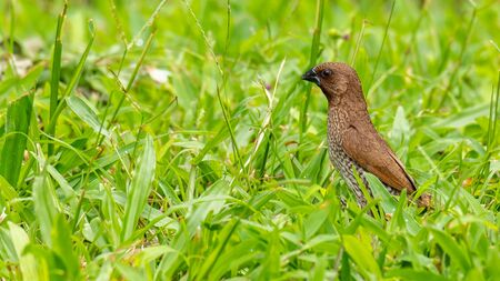 Scaly-Breasted Munia perching on grass, raising up head and  looking into a distance