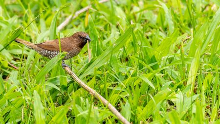 Scaly-Breasted Munia perching on stick with a piece of dried grass in the beak,  looking into a distance