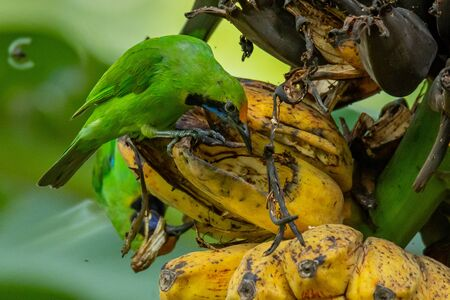 Golden-fronted Leafbirds perching on bunch of banana and feeding on its fruit