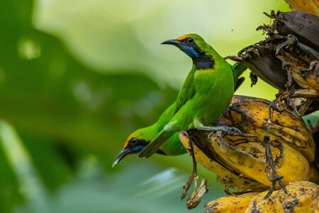 Golden-fronted Leafbird perching on bunch of banana and feeding on its fruit