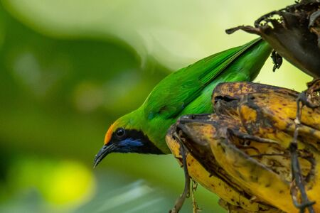 Golden-fronted Leafbirds perching on bunch of banana and looking into a distance