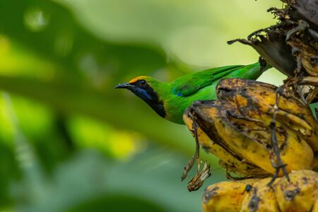 Golden-fronted Leafbird perching on bunch of banana and looking into a distance