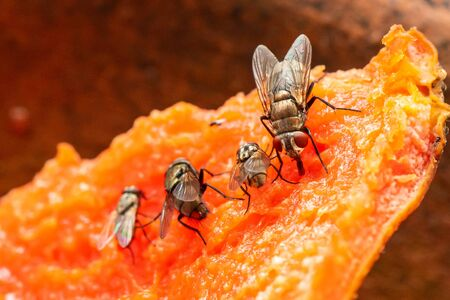 Houseflies feeding on rotten papaya meat