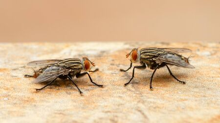 Two houseflies facing each other on the light brown floor