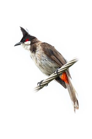 Red-whiskered bulbul perching on twisted metal cable isolated on white background