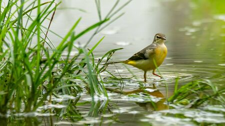 Grey wagtail wading on wet ground to find food after raining Reklamní fotografie