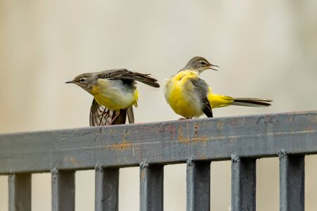 Grey wagtails perching on fence, stretching its wing and relaxing