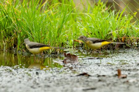 Grey wagtails wading on wet ground to find food after raining