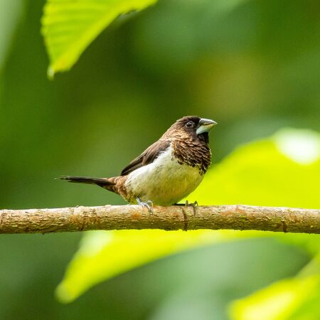 White-rumped Munia perching on a perch looking into a distance Reklamní fotografie