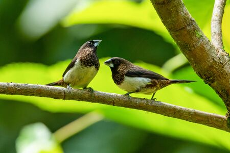 Two White-rumped Munia perching on a perch looking into a distance Reklamní fotografie
