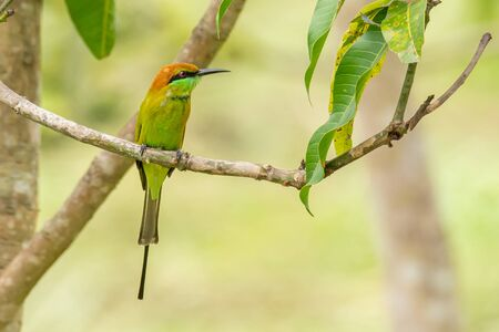 Green Bee-Eater perching on mango tree, looking into a distance