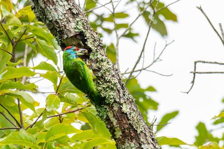 Blue-Throated Barbet chiseling out a hole to build its nest